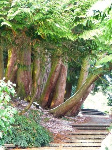 Sehr alte Thuja occidentalis Bäume