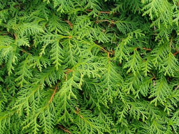 Thuja Occidentalis Hecke